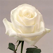 BLIZZARD WHITE ROSES Rosas al por mayor y vip flores by Rose Connection Inc. Los Angeles California, gran coleccion de rosas y flores, customer services y Fedex Free Delivery en Los Angeles, Sacramento, San Francisco California, Miami Orlando Florida, Houston, San Antonio, Austin, Dallas, Texas, Montgomery Alabama, Juneau Alaska, Phoenix Arizona, Little Rock Arkansas, Denver Colorado, Hartford Connecticut, Dover Delaware, Atlanta Georgia, Honolulu Hawaii, Boise Idaho, Springfield Chicago Illinois, Indianapolis Indiana, Des moines Iowa, Topeka Kansas, Frankfort Kentucky, Baton Rouge New Orleans Lousiana, Augusta Maine, Annapolis Maryland, Boston Massachusetts, Lansing Michigan, Saint paul Minnesota