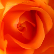 Orange roses, long stem florist orange roses now available at wholesale basis for your florist. Wholesale Roses. Los Angeles CA